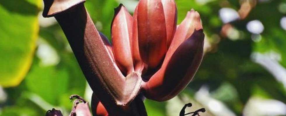 Astounding Health Benefits of Red Bananas
